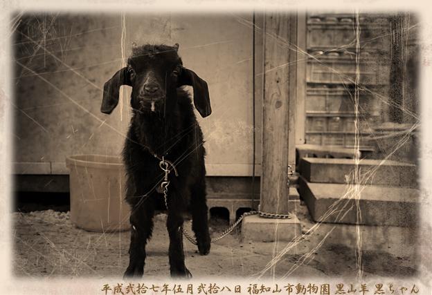 黒ヤギ、クロちゃん