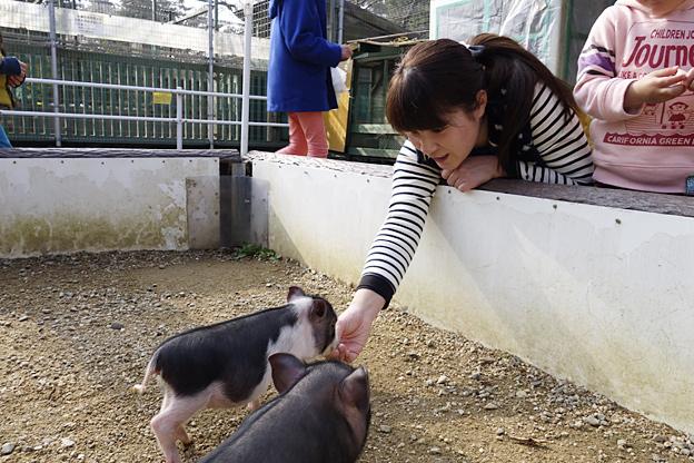 福知山市動物園のミニブタ