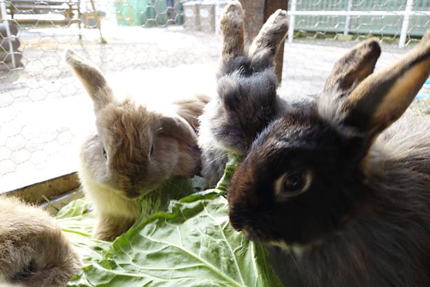 兔子耳朵長得好