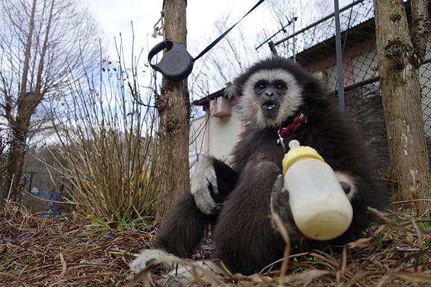 シロテテナガザル 福知山市動物園の シロテテナガザル ももた 「君に勧む 更に尽せ 一杯のミルク