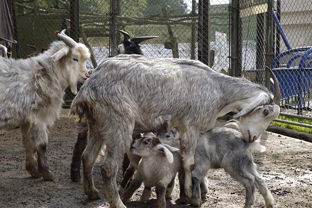 福知山市動物園のヤギの赤ちゃん