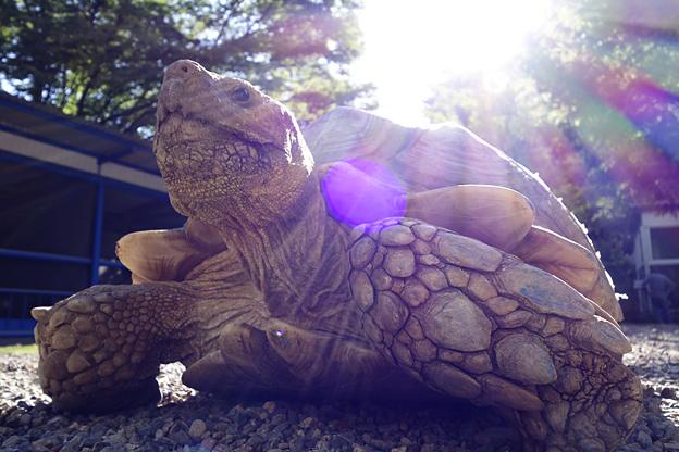 福知山市動物園のケヅメリクガメ