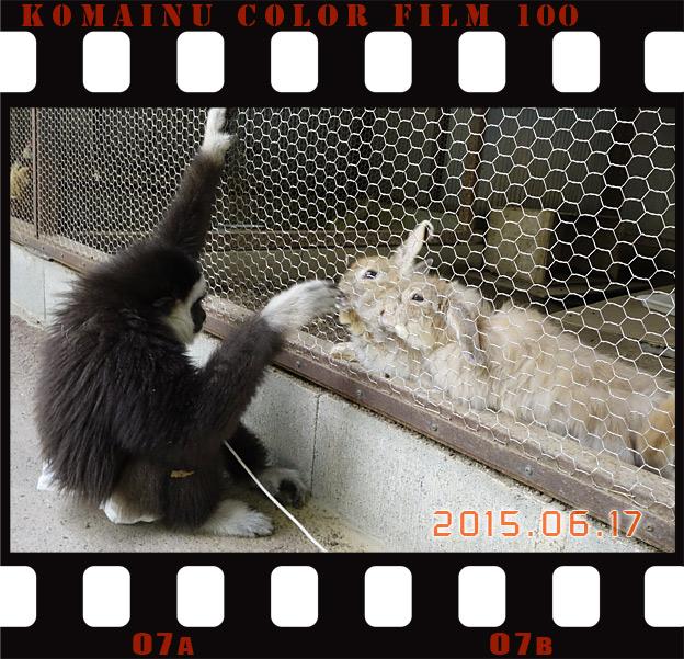 福知山市動物園のシロテテナガザル ももた