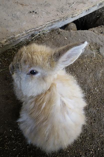 福知山市動物園の うさぎ