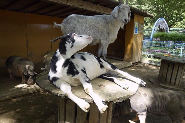 福知山市動物園の うしやぎ