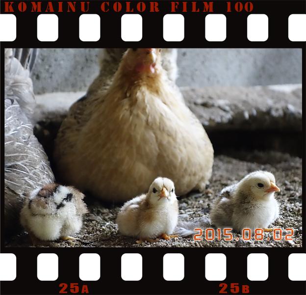 福知山市動物園のチャボ