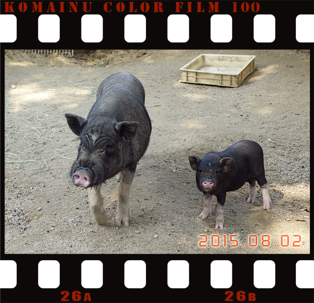 Simg_iphone3065396_pig_2