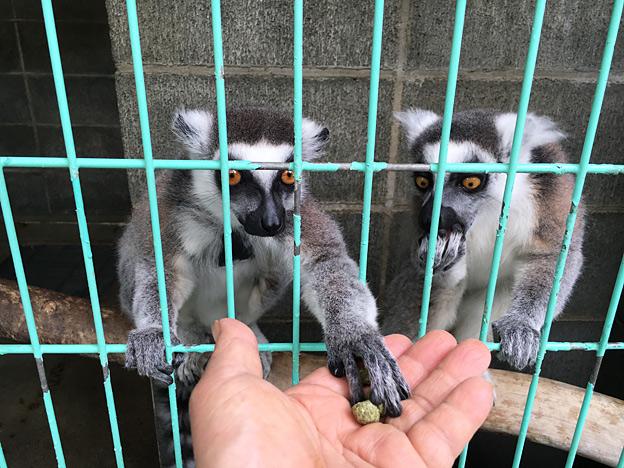 福知山市動物園 ワオキツネザル