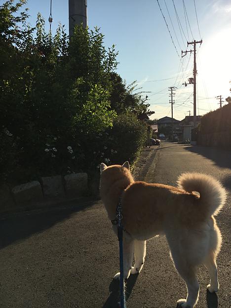 柴犬のさんぽ