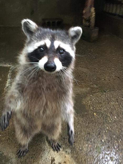 福知山市動物園の アライグマ