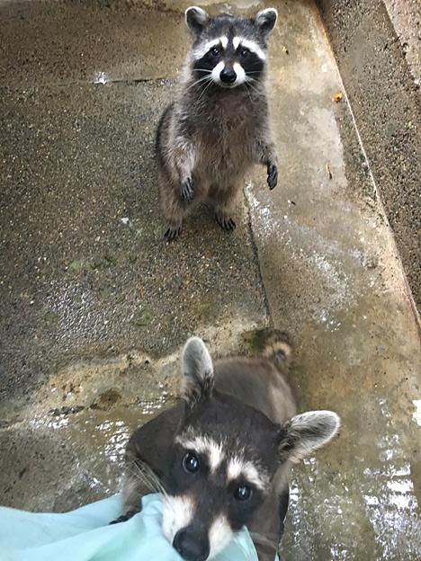 Simg_iphone3065803_raccoon