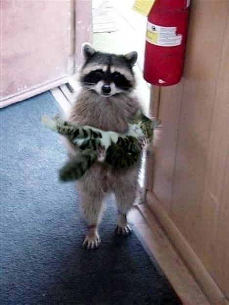 Simg_iphone3065830_raccoon