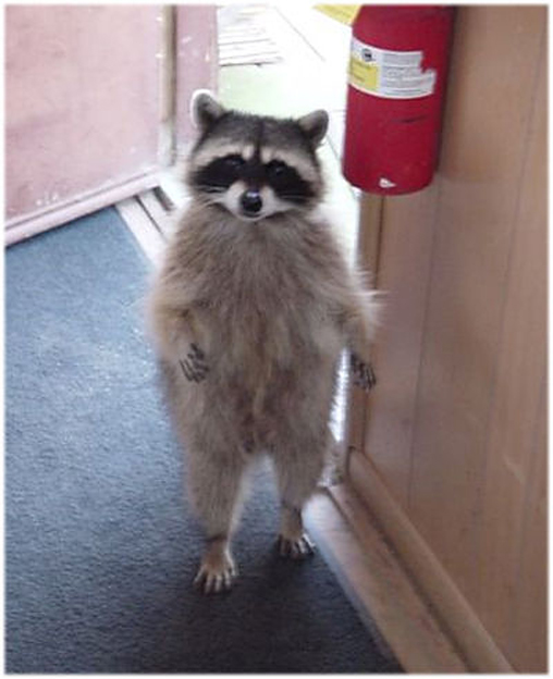 Simg_iphone3065831_raccoon