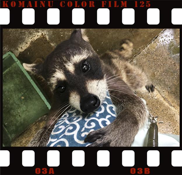 Simg_iphone3065833_raccoon