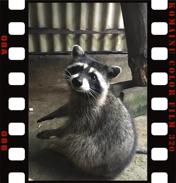 Simg_iphone3065928_raccoon