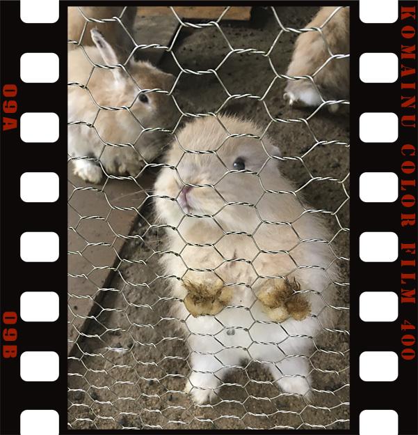 福知山市動物園の アメリカン ファジー ロップイヤー ラビット