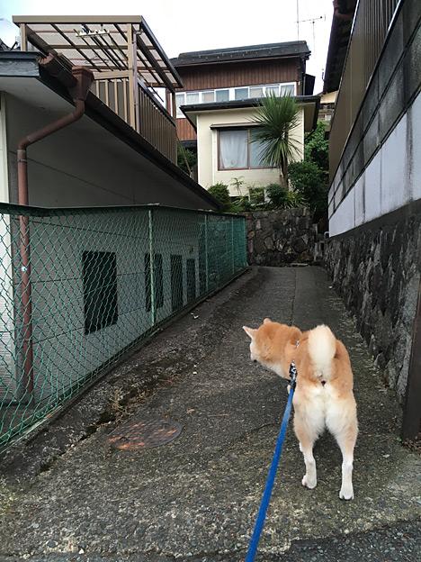 忘れないよ この道を 柴犬こう太と歩いた 空につづく道を