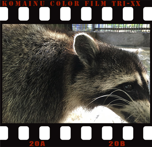Simg_iphone3066044_raccoon