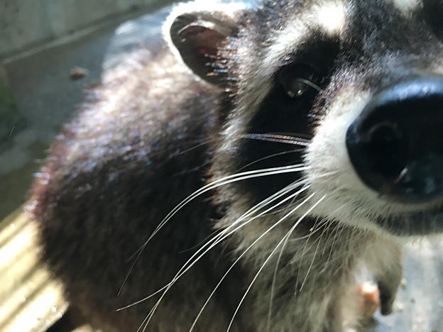 Simg_iphone3066046_raccoon
