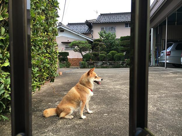 Simg_iphone3066052_shibainu
