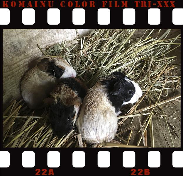 福知山市動物園のモルモット