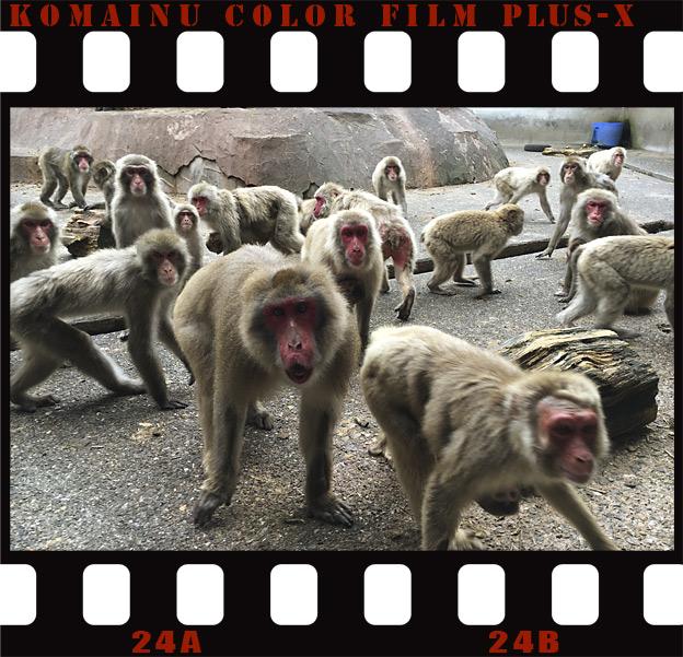福知山市動物園のニホンザル