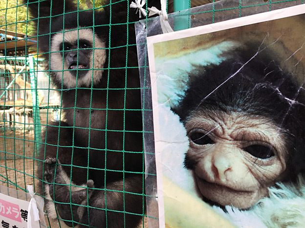 福知山市動物園のシロテテナガザル