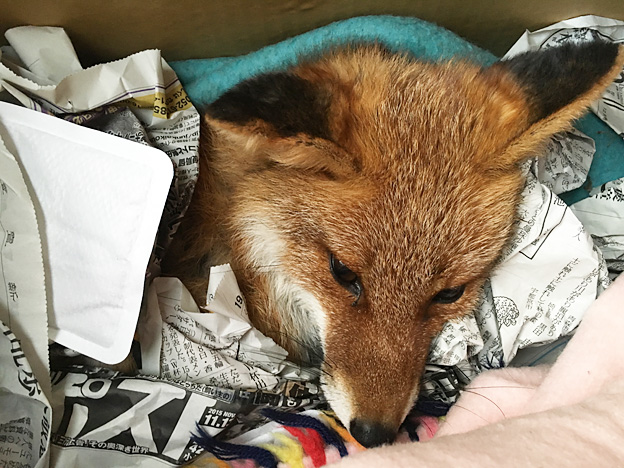 0014_fox