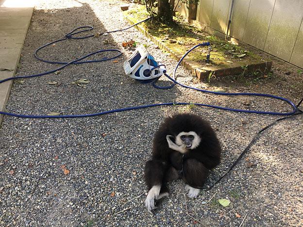 福知山市動物園の シロテテナガザル ももた(桃太郎)