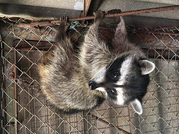 福知山市動物園のアライグマ