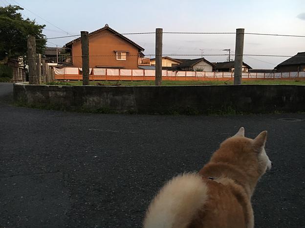 0223_shibainu_1