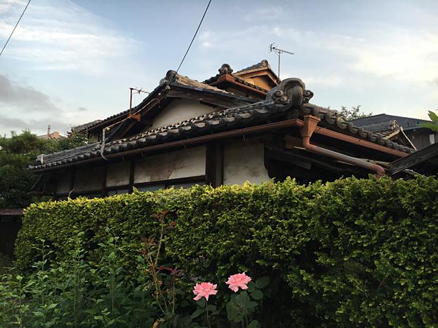 0242_shibainu_1