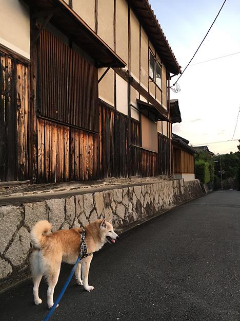0244_shibainu_1_2