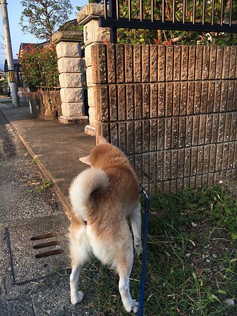 0358_shibainu_4