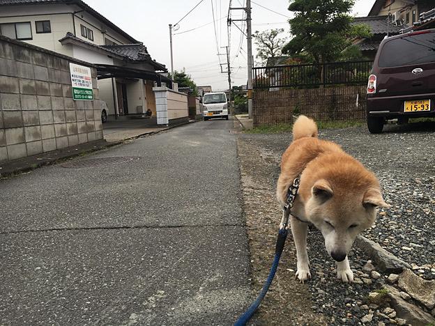 0377_shibainu_5