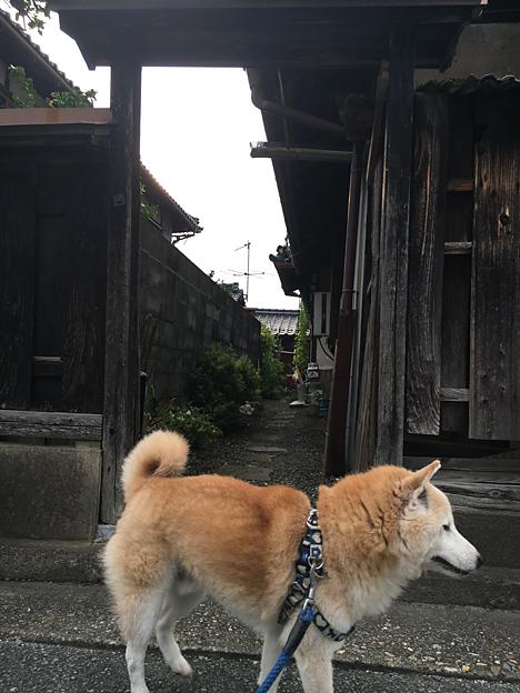 0386_shibainu_5