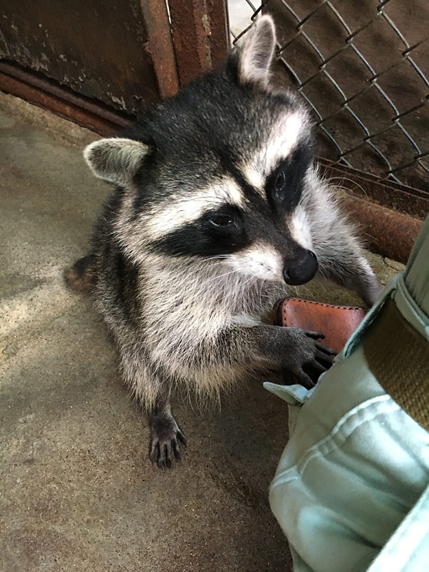 0094_raccoon