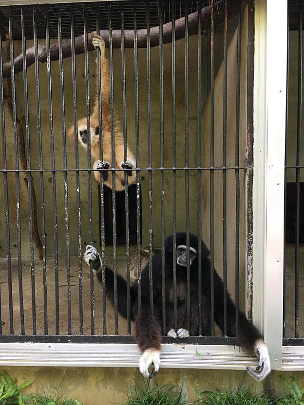 福知山市動物園 シロテテナガザル