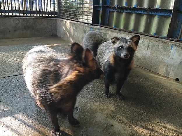 福知山市動物園 タヌキ