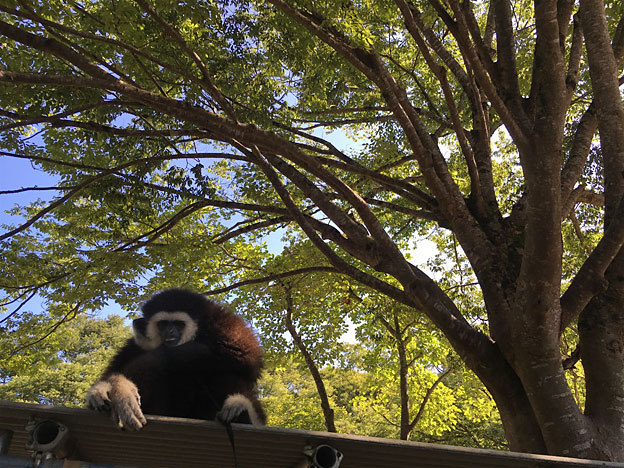 福知山市動物園 シロテテナガザル ももた