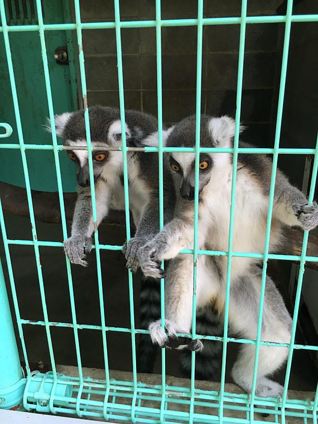 福知山市動物園のワオキツネザル