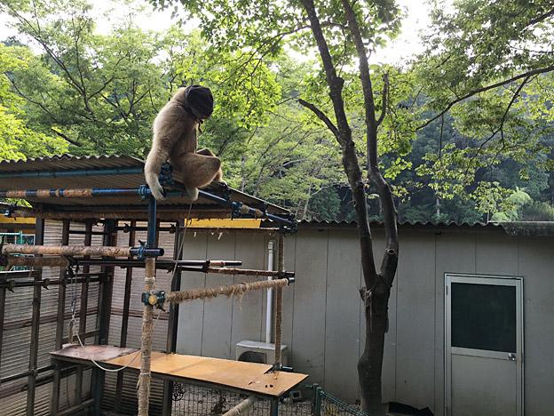 福知山市動物園のシロテテナガザル ・ 山ちゃん