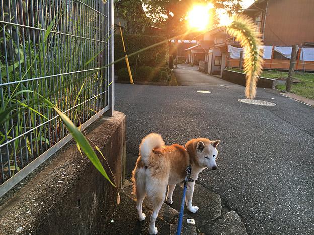 柴犬こう太