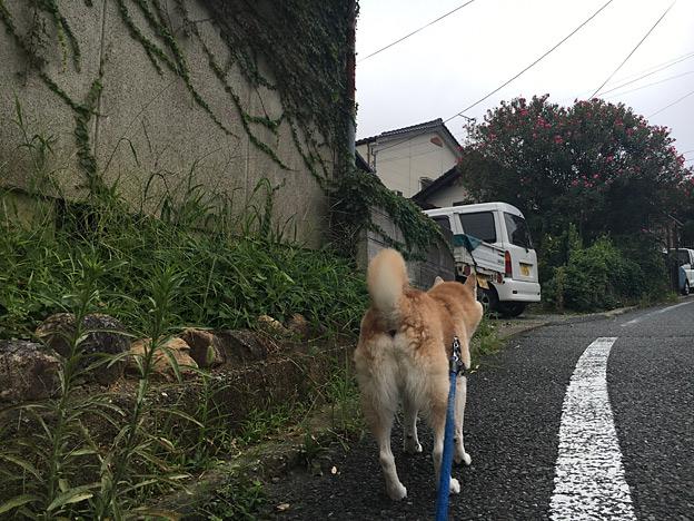 0559_shibainu_19