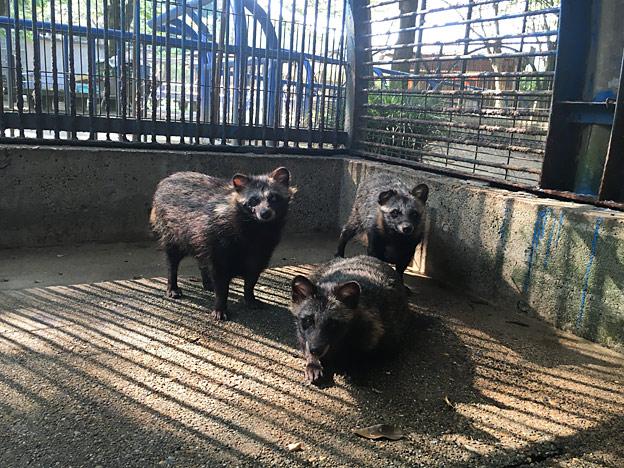 福知山市動物園のタヌキ