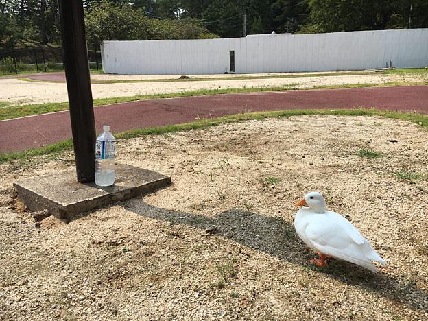 福知山市動物園のアヒル