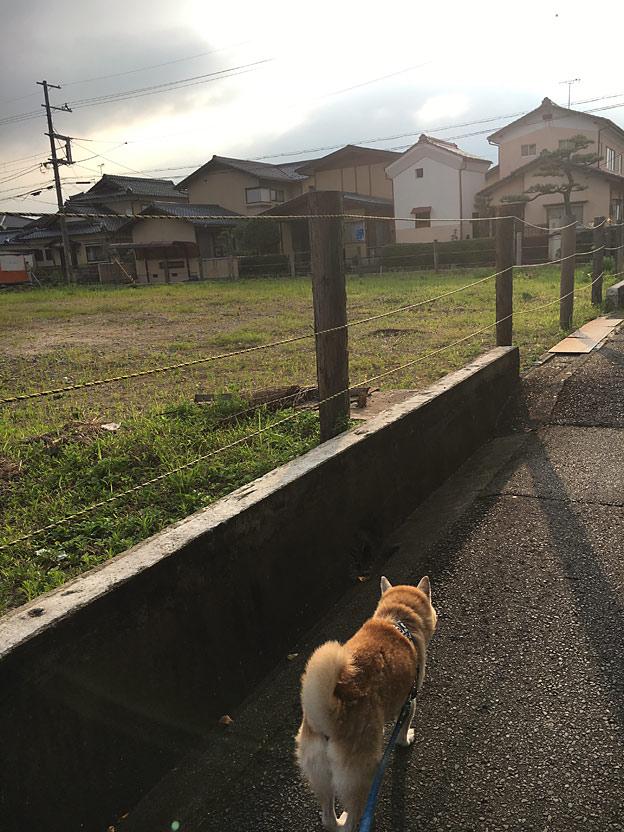 0620_shibainu_24