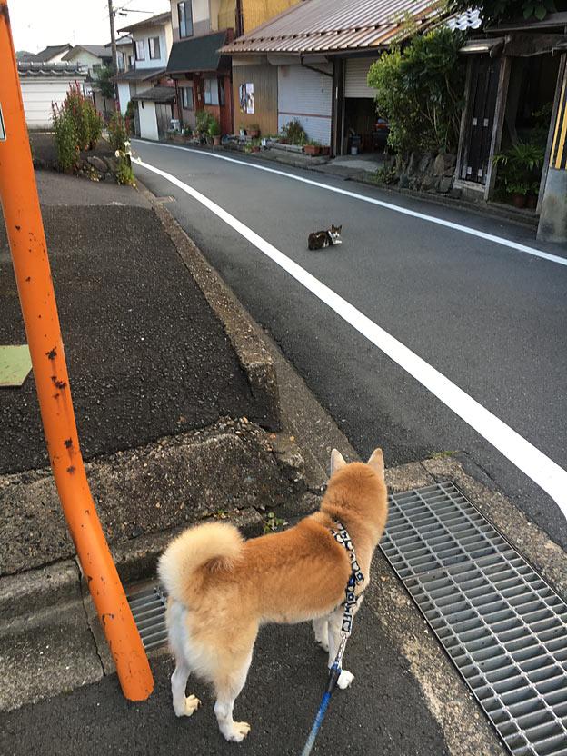 柴犬のおさんぽ